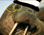 Play Fancy Walrus