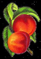 avatar for PeachHead